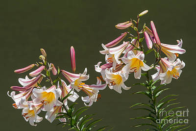 Poster featuring the photograph Stargazer Lilies by Dale Nelson