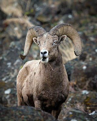 Poster featuring the photograph Startled Ram by Steve McKinzie