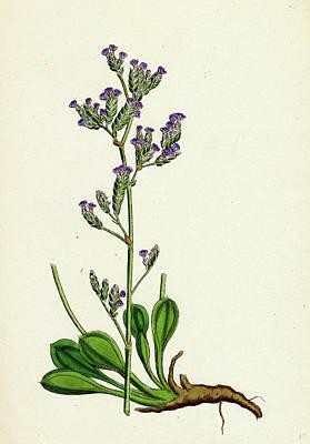 Statice Binervosa Var. Dodartii Lesser Sea-lavender Var Poster