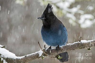Stellar Jay In Snow Poster by Inge Riis McDonald