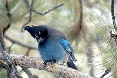 Steller's Jay Looking Down Poster by Marilyn Burton