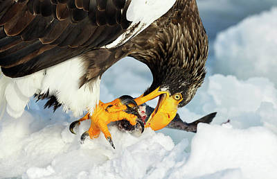 Steller's Sea Eagle Poster by Dr P. Marazzi