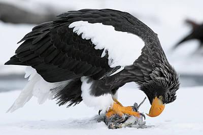 Stellers Sea Eagle Feeding Poster by Sergey Gorshkov