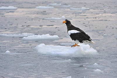 Stellers Sea Eagle On Ice Floe Hokkaido Poster by Thomas Marent