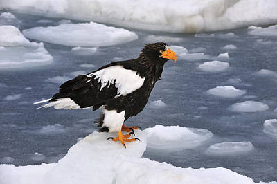 Stellers Sea Eagle On Ice Hokkaido Japan Poster by Thomas Marent