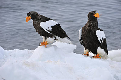 Stellers Sea Eagles On Ice Hokkaido Poster by Thomas Marent
