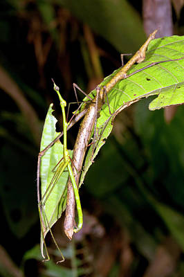 Stick Grasshoppers Mating Poster