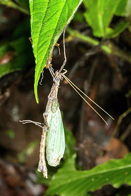Stick Insect Ecdysis Poster
