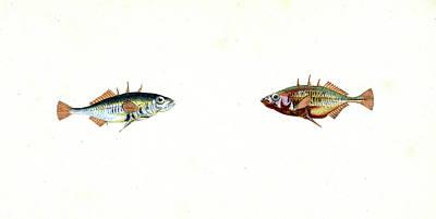 Stickleback, Three-spined, Gasterosteus Aculeatus Poster by Artokoloro