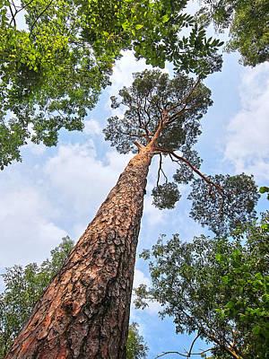 Still Standing Tall - Pine Tree Poster