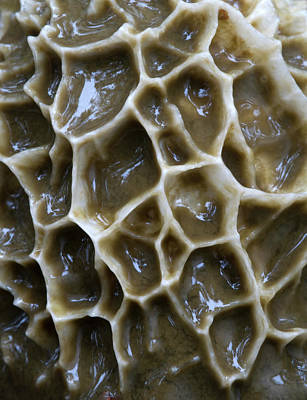 Stinkhorn Fungus Spore Cap Abstract Poster by Nigel Downer