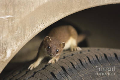 Stoat On Tire Poster