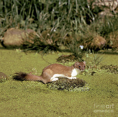 Stoat Poster