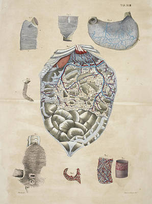 Stomach And Intestines Poster by British Library