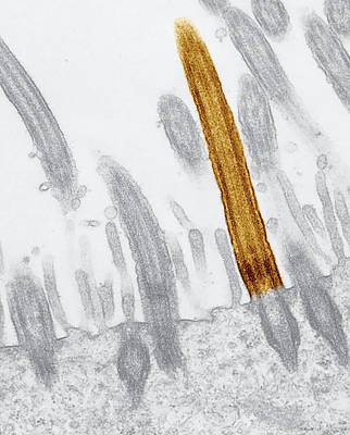 Stomach Cilia Poster by Marian Miller