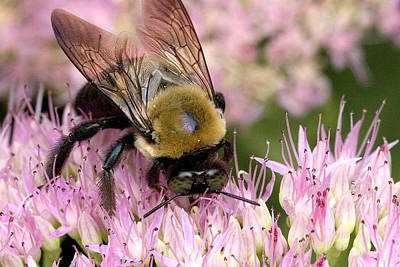 Poster featuring the photograph Stone Mountain Bumble Bee by Gene Walls
