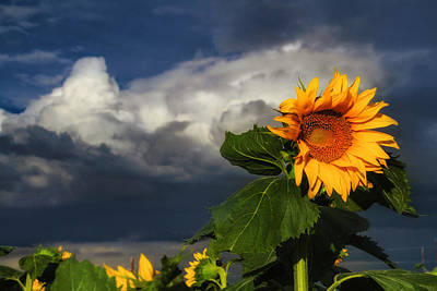 Stormy Sunflower Poster