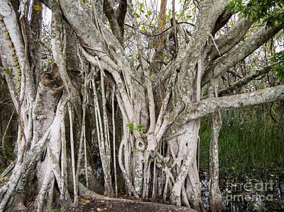 Strangler Fig Tree Poster