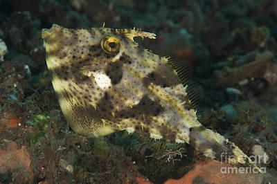 Strap-weed Filefish Tulamben, Bali Poster