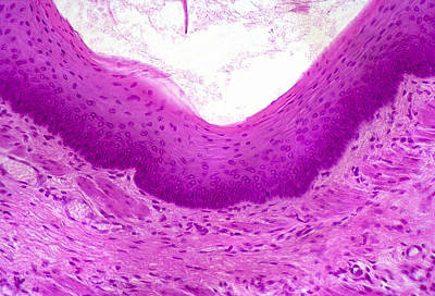 Stratified Squamous Epithelium, Smooth Poster by Science Stock Photography