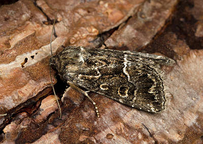 Straw Underwing Moth Poster by Nigel Downer