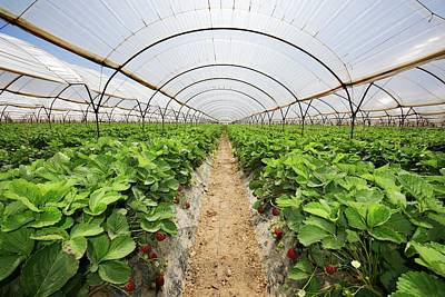 Strawberries Growing In Polytunnels Poster by David Parker