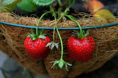 Strawberries Poster by Pamela Walton