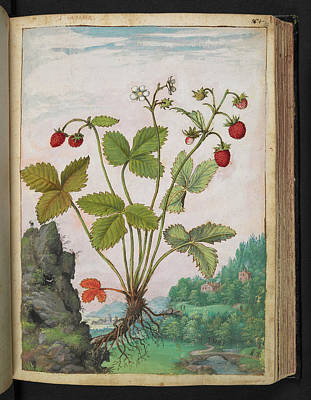 Strawberry (fragaria Sp.) Poster by British Library