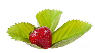 Ripe Strawberry Fruit Lying On Leaf On White  Poster