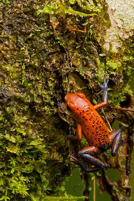 Strawberry Poison Dart Frog Costa Rica Poster by Natural Focal Point Photography