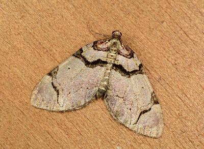 Streamer Moth Poster