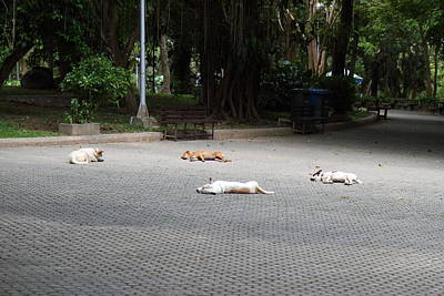 Street Dog - Phuket Thailand - 01131 Poster by DC Photographer
