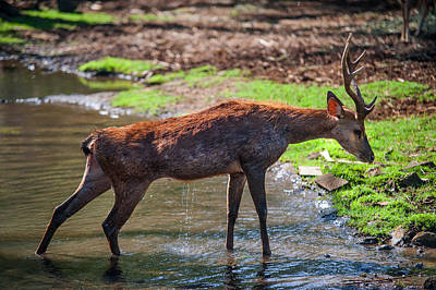 Stretching After Bathing. Male Deer In The Pampelmousse Botanical Garden. Mauritius Poster