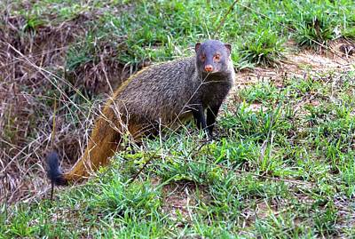 Stripe-necked Mongoose Poster by K Jayaram