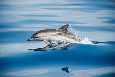 Striped Dolphin Poster