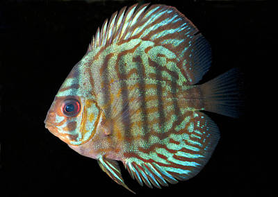 Striped Turquoise Discus Poster by Nigel Downer