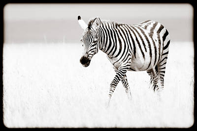 Poster featuring the photograph Stripes On The Move by Mike Gaudaur