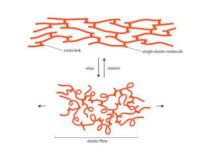 Structure Of Elastin Poster