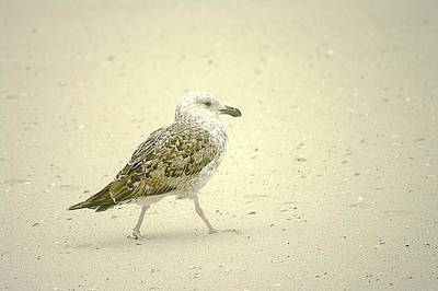 Poster featuring the photograph Strutting Young Seagull  by Suzanne Powers