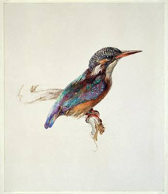Study Of A Kingfisher Poster