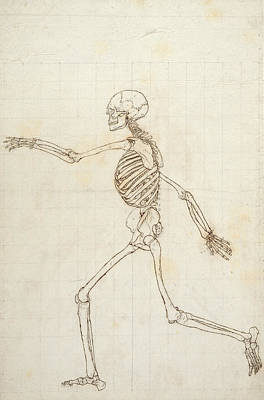 Study Of The Human Figure, Lateral View, From A Comparative Anatomical Exposition Of The Structure Poster