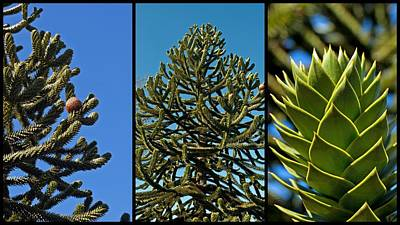 Study Of The Monkey Puzzle Tree Poster