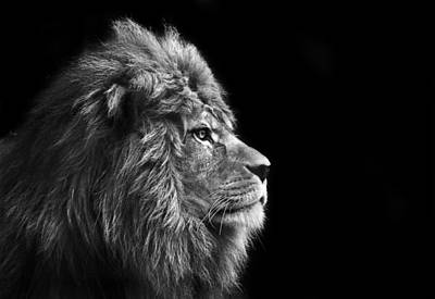 Stunning Facial Portrait Of Male Lion On Black Background In Bla Poster