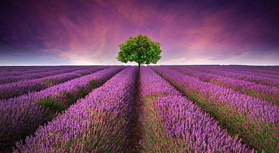 Stunning Lavender Field Landscape Summer Sunset With Single Tree Poster