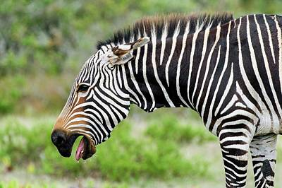 Submissive Cape Mountain Zebra Poster by Peter Chadwick