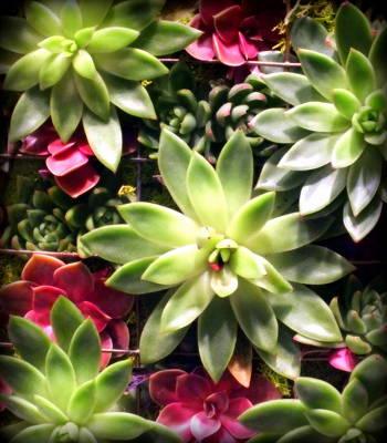 Succulent Beauties Poster