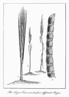 Sugar Cane, 1796 Poster by Granger