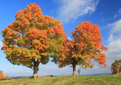 Sugar Maples On Hilltop In Autumn Poster