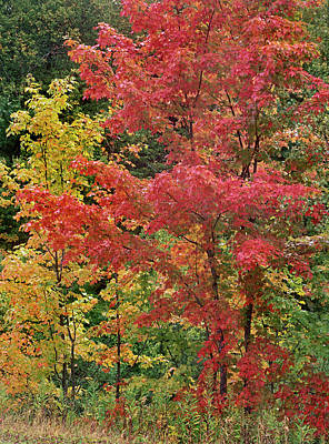 Sugar Maples, Porcupine Mountains Poster