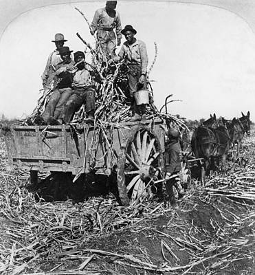Sugar Plantation, 1901 Poster